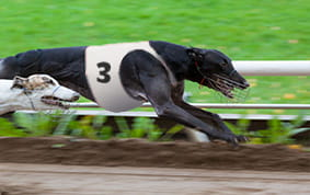 East anglian greyhound derby 2021 betting online video poker betting strategy
