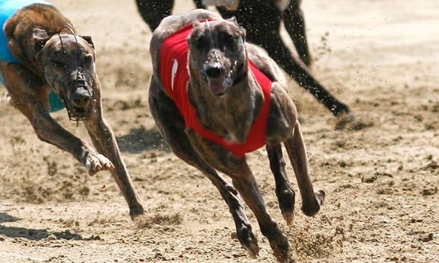 netbet virtual Dog Racing