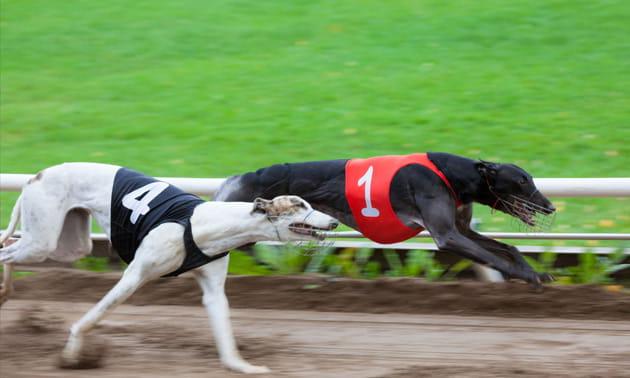 Greyhound Results